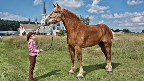 Tallest-horse-big jake