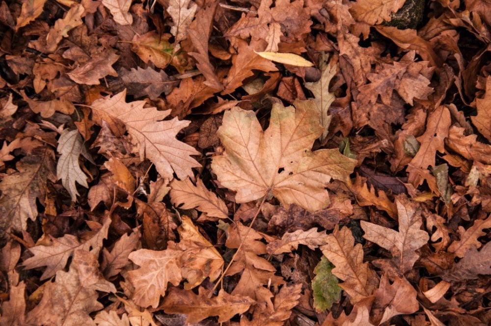 dry leaves for black gold khaad