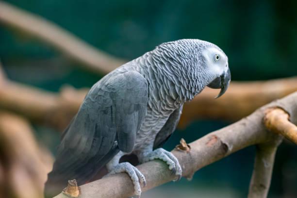 African grey Parrot Alex